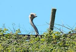 Ostrich on Moher open farm